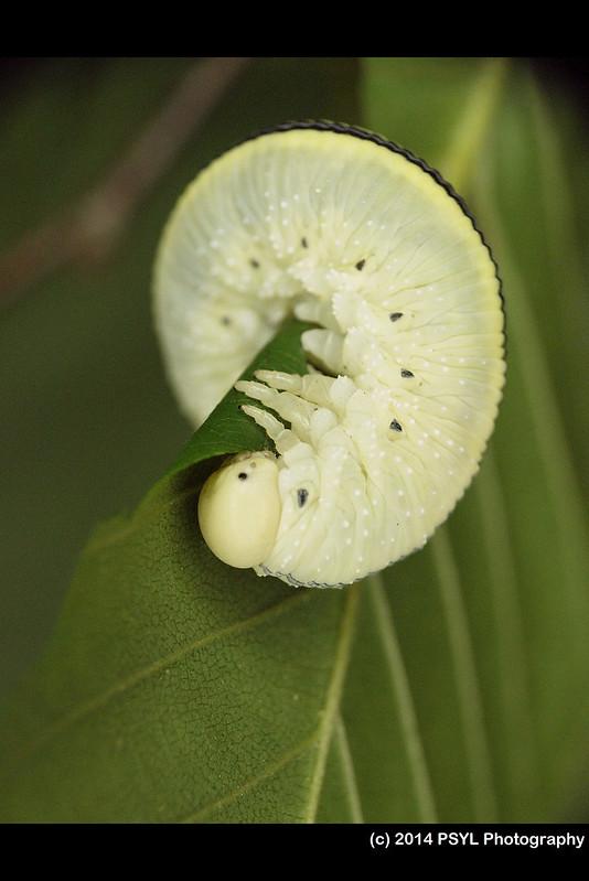Elm Sawfly Larva (Cimbex americana)