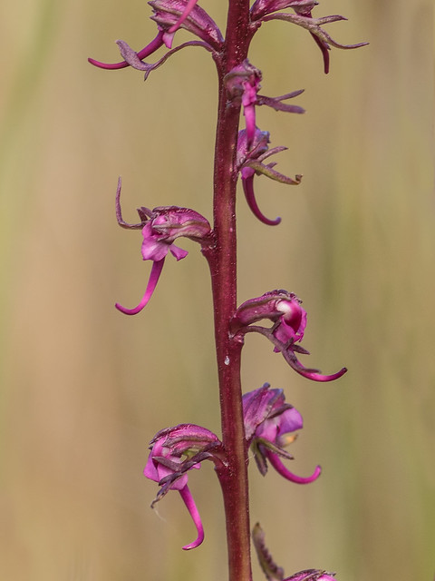 Elephant's-head lousewort