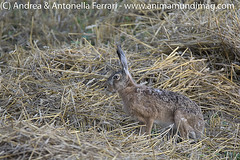 Wild Hare Lepus europaeus