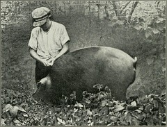 """Image from page 133 of """"Southern pork production"""" (1918)"""