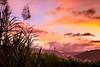 Sugar Cane in FNQ