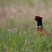 Common Pheasant (Phasianus colchicus) Fácán
