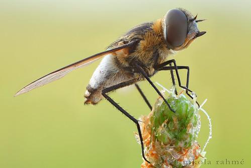 earlymorning naturallight flies diptera macrophotography beefly focusstack fieldshooting bombyliidae exoprosopa canoneos5dmarkii canonmpe65mmf28 zerenestacker manfrotto055protripod newportm423 sunwayfotoquickreleasesystem