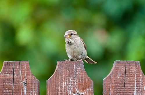 wood brown house blur green bird fence european bokeh 300mm sparrow tele tamron d5000