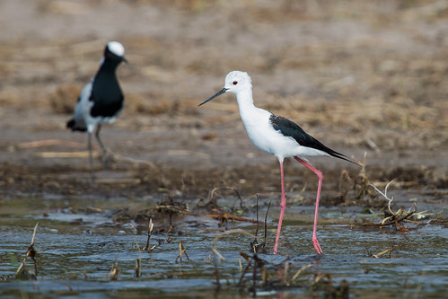 Common Stilt