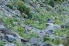 Pasque Flower on Rocks