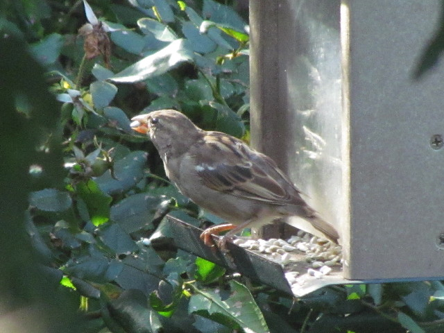 House Sparrow eating safflower 9:10:14
