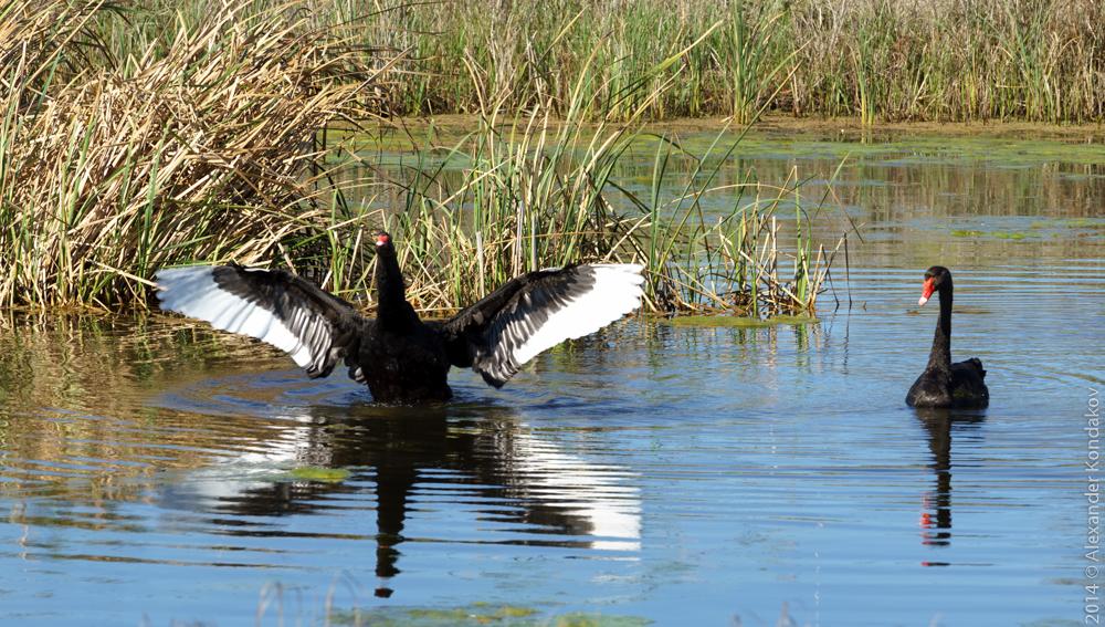 Birds SA Adelaide-15