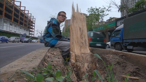 移樹工程不當讓人很心疼