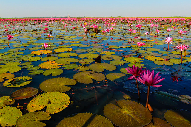 udon thani, small cities to visit, off the beaten path, thailand, red lotus sea, water lillies