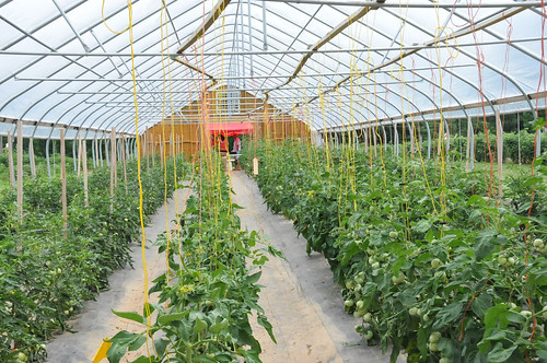 Tomatoes grow in a high tunnel at Butler's Orchard. The high tunnel provides a longer growing season and increased protection for valuable crops.