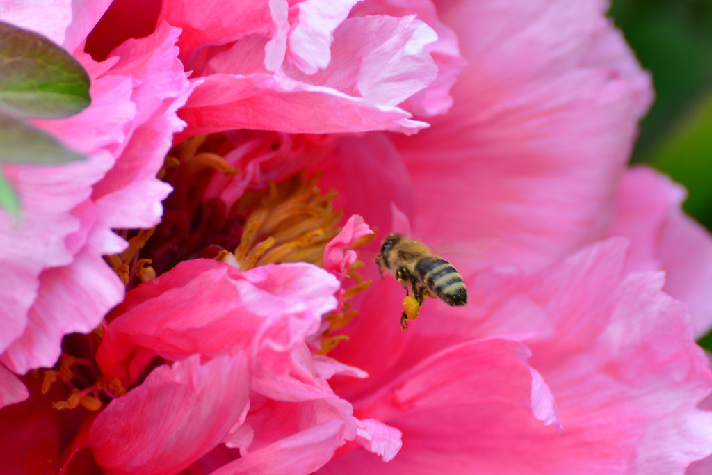Bee carries and deposits pollen into flowers