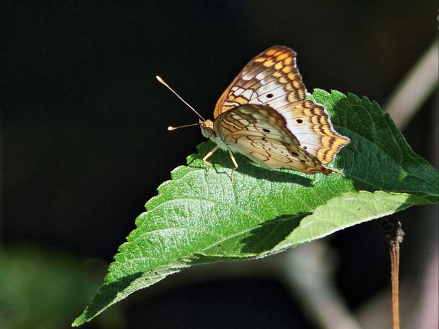 White Peacock 2-20140905