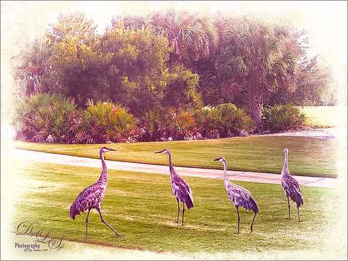 Image of Sandhill Cranes on our local golf course