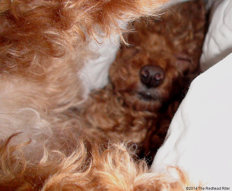 cutest little face of bella, red toy poodle