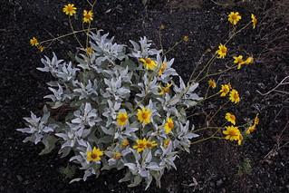Floración en el Pinacate IMG_0669