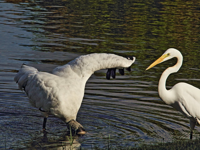 Great Egret and Wood Stork 2-20140912