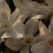 narcissus papyraceus 8w-w, narcissus w-w, oneplant, trumpetwhite - daffodil parts, jdy329 XX201111254523.jpg