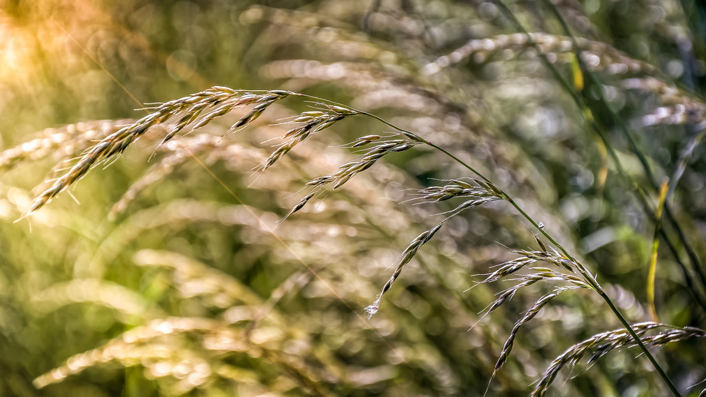 Grass, Bokeh And A Litle Beam Of Sunlight