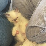 Troi, a chocolate bicolor ragdoll girl kitten