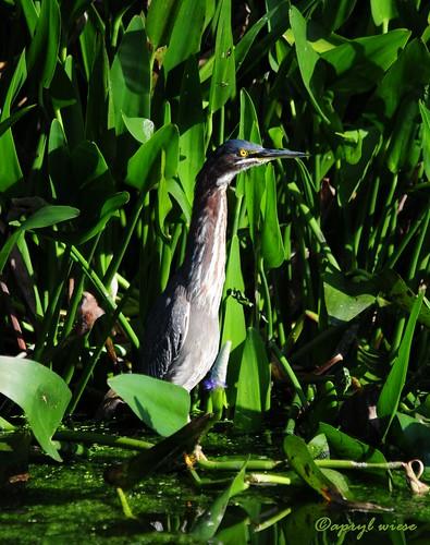 Green Heron at Peaceful Waters