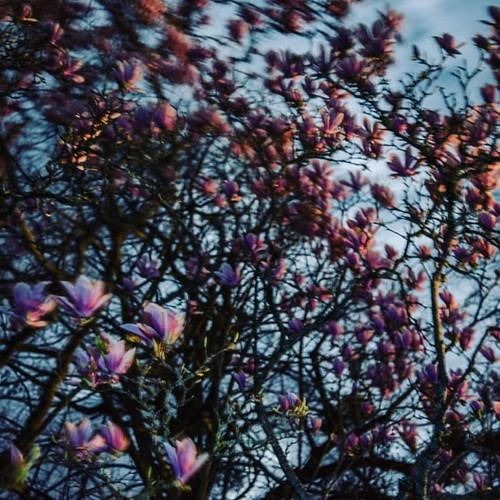 Magnolia's wind night - end of winter 2017 #magnolia #flower #flowers #fleurs #sudouest #spring #springtime #mars2017 #instagood #instaflowers #l4f #l4l #like4like #tree #floral #floraison #dordogne #gironde #nouvelleaquitaine #beautiful #wind #night #unb