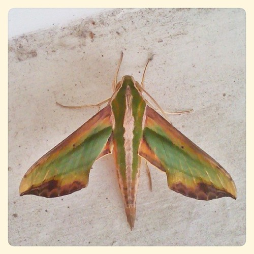 Our Visitor. #moth #insect #taiwan #nantou