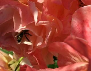 Rose und Biene
