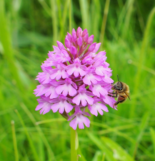 Bee on pyramidal orchid