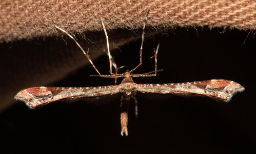 Brown Plume Moth 30074