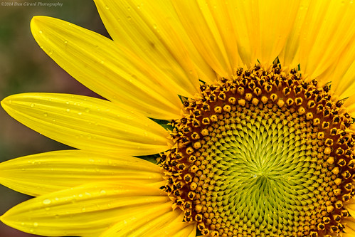 nature sunrise unitedstates maryland sunflowers 2014 poolesville dangirardphotography