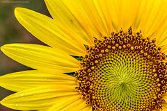 20140719 Md Poolsville Sunflowers013