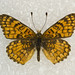 Sagebrush Checkerspot - Photo (c) Robb Hannawacker, some rights reserved (CC BY-NC-SA)