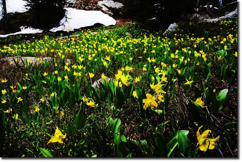 Glacier Lily 18