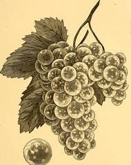 """Image from page 76 of """"American grape growing and wine making"""" (1880)"""