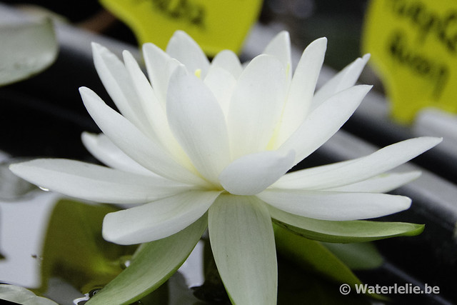 Waterlelie Odorata Alba / Nymphaea Odorata Alba