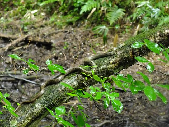 別の木ではヘビも見つかった.産卵のために集まるカエルを狙っていることを聞いた.