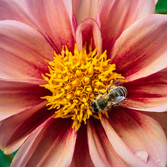 Dahlia with Bee; Dahlie mit Biene (1:1)