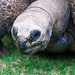 Small photo of Aldabra Tortoise Eating Grass