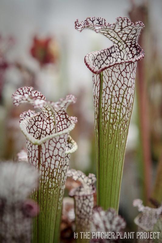 Sarracenia leucophylla - Alabama