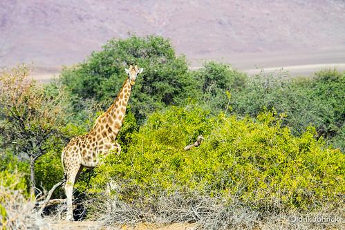 Giraffe at Puros, Namibia