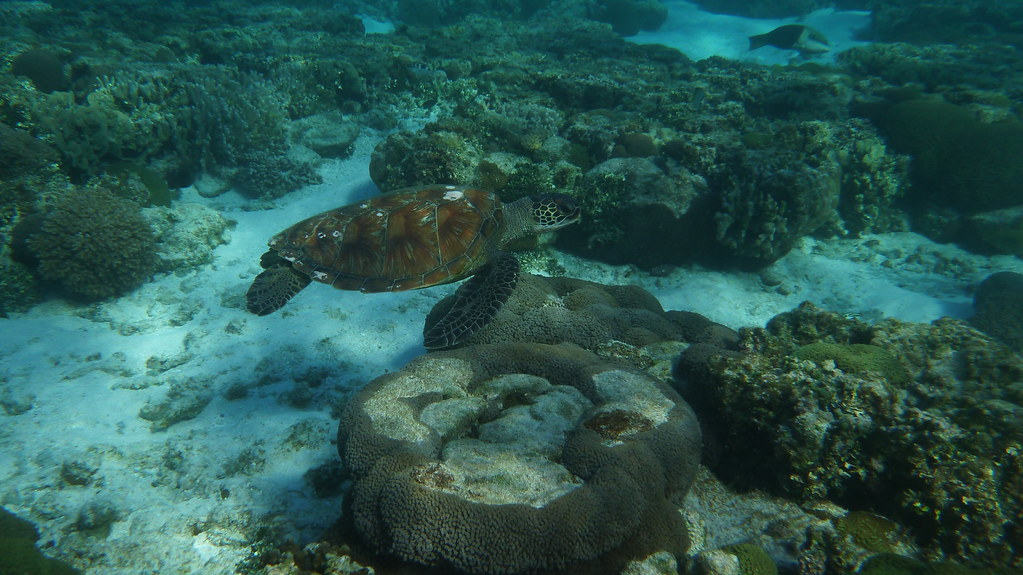 australia, fraser coast, flight, great barrier reef, lady elliot island, queensland, snorkelling, green turtle,