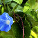Ivy-Leaved Morning Glory