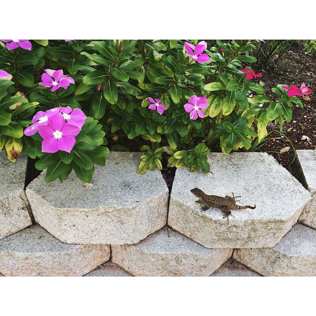 #pictapgo_app William & I made another new #lizard friend at temple this morning. #lizards #lizardsofinstagram #reptile #wildlife #southflorida #animals #florida #flowers