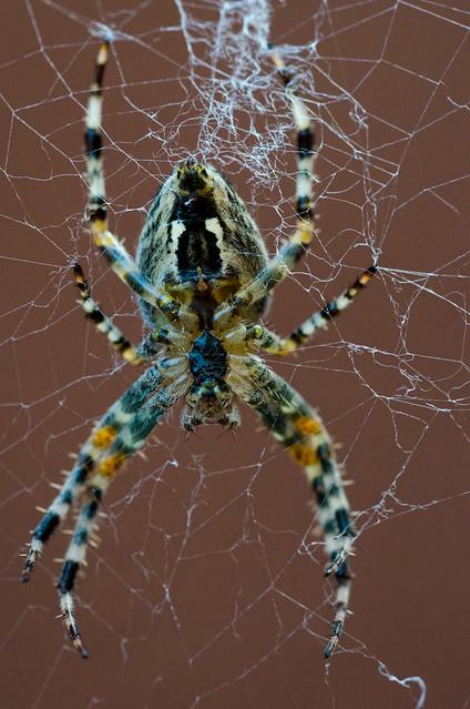 Kreuzspinne / Spider Macro