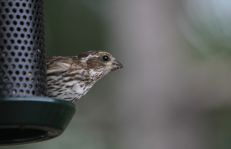 house finch juv