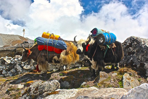 scenic Yaks carrying gear to Island Peak Base Camp
