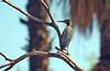 Green Heron, Papago Park