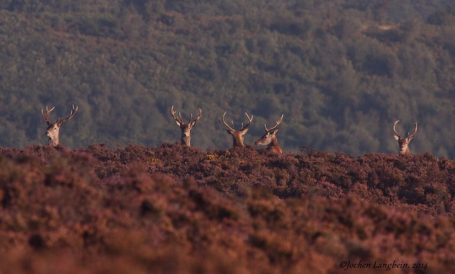 Red deer stags among heather and gorse