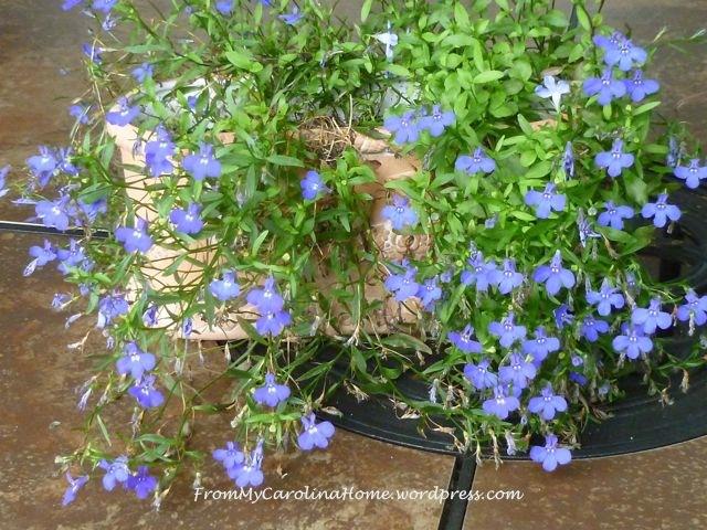Garden September 9 -lobelia